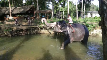 floresta tropical : SIGIRIYA, SRI LANKA - FEBRUARY 2014: Elephant in  stream with its Mahout on its back. Its common practice to refresh elephants after a days work in the fields. Stock Footage