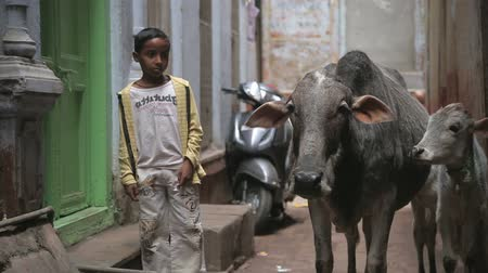 dobytek : VARANASI, INDIA - 25 FEBRUARY 2015: Portrait of a school boy standing by two cows in narrow street in Varanasi.