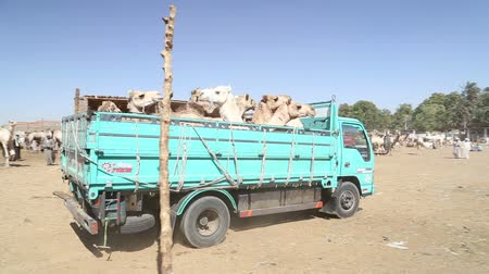 aswan : DARAW, EGYPT - 06 FEBRUARY 2016: Camels loaded on the back of the truck at Camel market.