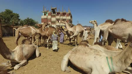 aswan : DARAW, EGYPT - FEBRUARY 6, 2016: Camel market in city of Daraw, also known as Souq al-Gimaal, is one of the largest and liveliest camel markets in Egypt.