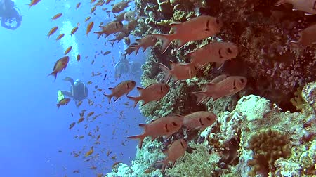 soldierfish : Beautiful underwater tropical coral reef wall scene with shoals of anthias fish pseudoanthias squamipinnis and soldierfish myripristis jacobus Stock Footage