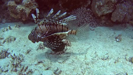 fish eye : Common African lionfish pterois volitans swimming on sandy seabed in tropical sea by hard coral reef Stock Footage
