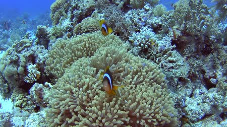 red sea anemonefish : Pair of red sea clownfish in anemone on sandy seabed in tropical sea by hard coral reef Stock Footage