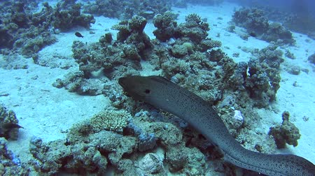 yılanbalığı : Large giant moray eel gymnothorax javanicus swimming on rocky seabed in tropical sea by hard coral reef Stok Video