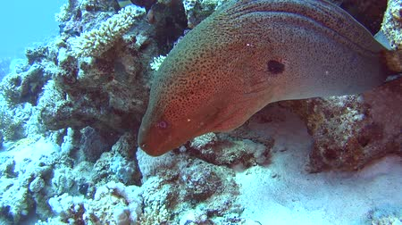 fish eye : Large giant moray eel gymnothorax javanicus on rocky seabed in tropical sea by hard coral reef