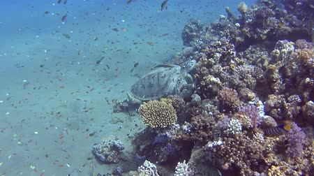 egipt : Large green sea turtle chelonia mydas with remora fish swimming underwater over coral reef in sandy lagoon of tropical ocean