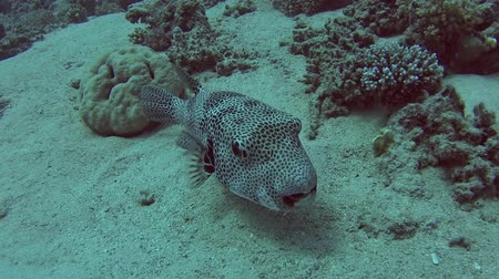 pufferfish : Large giant pufferfish arothron stellatus swimming on sandy seabed in tropical sea by hard coral reef Stock Footage