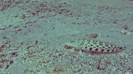egito : Speckled seabed parapercis hexophthalma on sandy seabed in tropical sea by hard coral reef