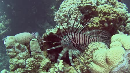 dorsal : Common African lionfish pterois volitans swimming on in tropical sea by hard coral reef Stock Footage