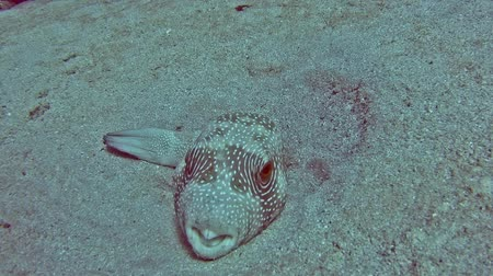 pufferfish : Large whitespotted pufferfish arothron hispidus lying on sandy seabed in tropical sea lagoon