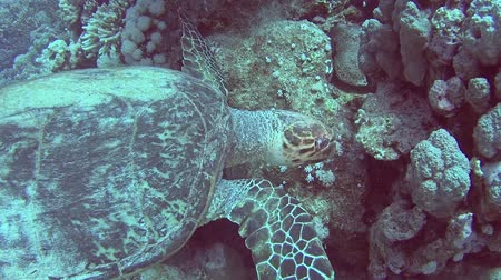 flippers : Red Sea hawksbill turtle eretmochelys imbricata swimming and feeding underwater on coral reef wall in tropical ocean Stock Footage