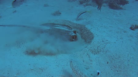 polowanie : Bluespotted lagoon stingray taeniura lymma feeding on sandy seabed in tropical sea