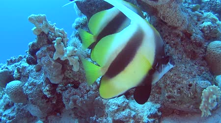 dorsal : Pair of Red Sea bannerfish heniochus intermedius swimming on in tropical sea by hard coral reef