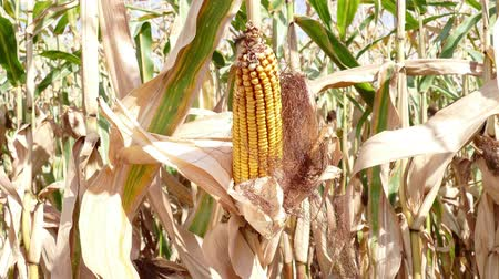 sucho : Cob of Corn Growing in Corn Field