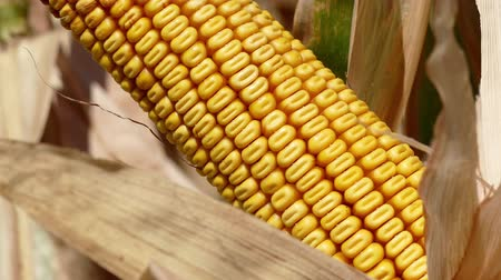 milho : Grains of ripe corn Stock Footage