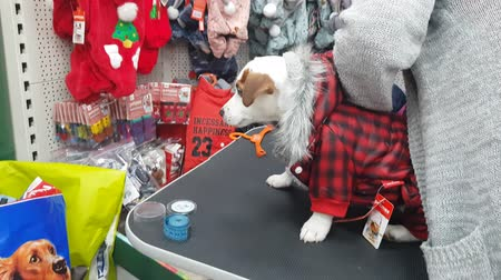 Small white terrier puppy in the pet store. Dress the dog in overalls. DEC 22, 2018 MOSCOW, RUSSIA Dostupné videozáznamy