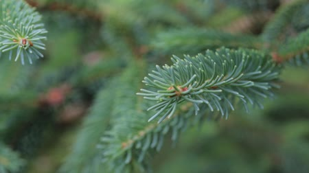 сосновая шишка : The branches of a living spruce sway on a sunny day in the forest. Macro. Nature force concept