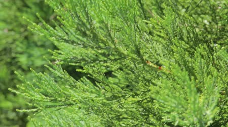 kapradina : Thuja branches fluttering in the wind on a sleepy day. Thuja occidentalis is an evergreen coniferous tree, in the cypress family Cupressaceae. Macro