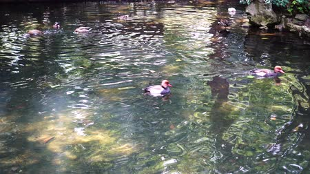 yeşilbaş : Ducks swim and dive in the pond on a sunny summer day