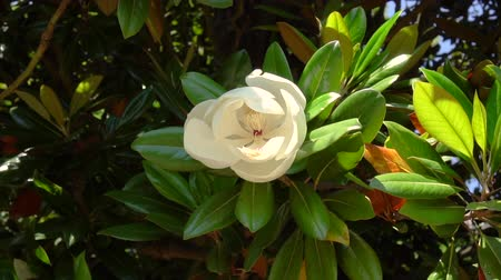 magnólia növény : Beautiful white big flower on a magnolia tree branch moving by wind, slow motion