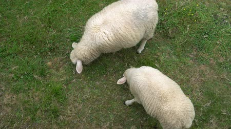 ewe : Two white sheep eat green grass in the pasture Stock Footage