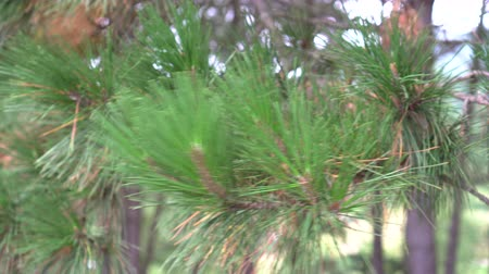 pinus : Pine branches swaying in the wind on a sunny, clear day. Vegetation on the hillside