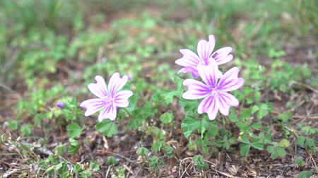 mallow : White-pink Malva flowers on the hillside. Insect hiding among the petals