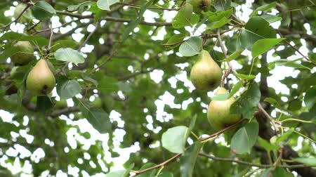 pereira : Wild conference pears with green leaves. Wind shakes branches with fruits on a sunny day Stock Footage