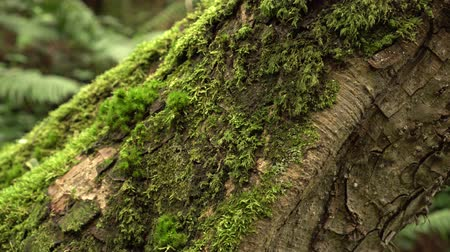 fotosentez : Moss-covered slanted tree trunk with fern in a wild damp untouched forest. The magic and beauty of ancient nature Stok Video