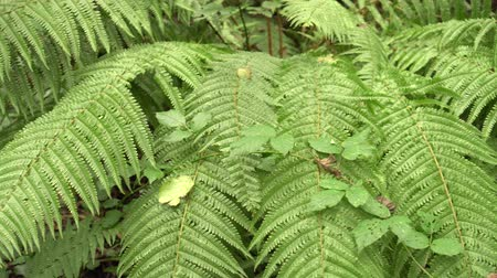 kapradina : Beautiful dense bush of fern in the wild summer forest after rain. The beauty of untouched nature