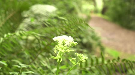 чаща : White flower in the park against the background of thickets of fern. In the distance runs an athlete. Great place in the park for sports Стоковые видеозаписи