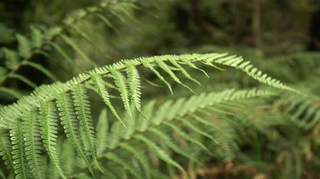 stonky : Fern branches in the wild forest close-up Dostupné videozáznamy