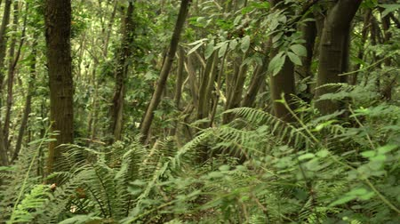kapradina : Dense wild forest with fern thickets, untouched nature
