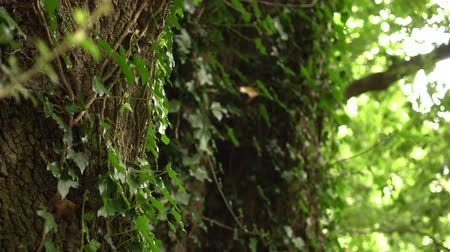 antikvitás : a tree trunk entwined with ivy with lush green leaves in a wild forest. Sunlight breaks through the foliage