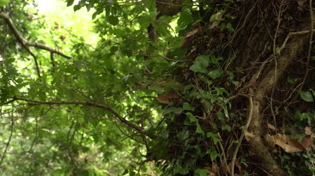klimop : a tree trunk entwined with ivy with lush green leaves in a wild forest. Sunlight breaks through the foliage