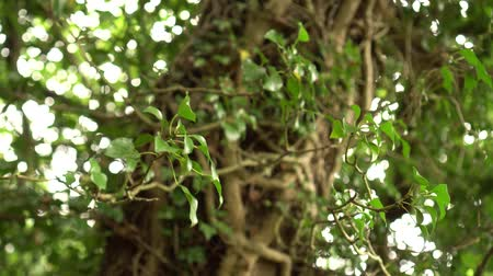 fakéreg : Young ivy branch with green moldings on a tree trunk in the wild forest on a sunny day