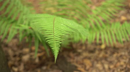 arborizado : Fern branches in the wild forest close-up Stock Footage