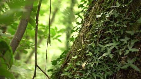 nobreza : a tree trunk entwined with ivy with lush green leaves in a wild forest. Sunlight breaks through the foliage