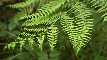 arborizado : green fern branch moves from the wind. young juicy fern leaves in summer Stock Footage