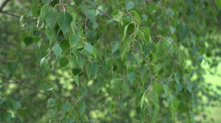 gałązki : Branches of birch with green leaves smoothly move in the wind. Beautiful natural background close-up