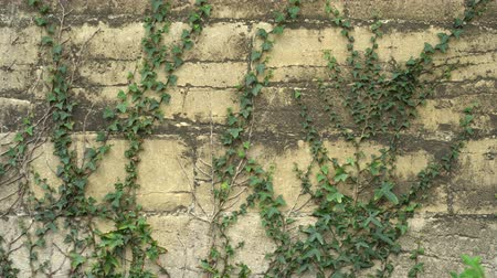 klimop : Ancient cracked wall overgrown with ivy. Creative background