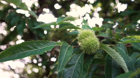 dikenli : Thorny fruits of horse chestnut on a branch with green leaves in the sun. The use of ecological natural products for the preparation of dietary supplements Stok Video