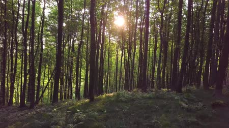 homály : Sunrise in green forest