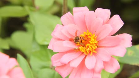 pszczoła : Honey bee in a pink zinnia flower Wideo