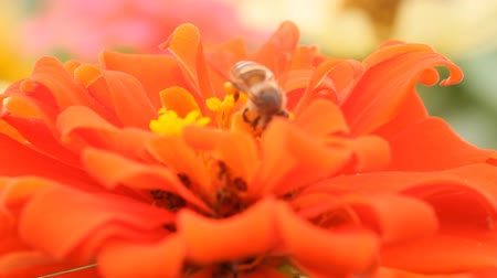 flower : Honey bees in a orange zinnia flower