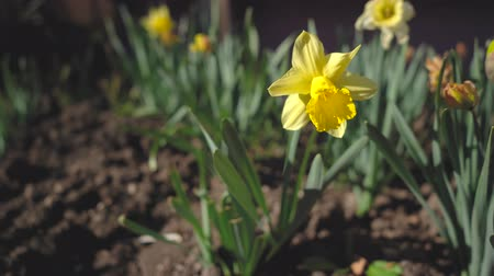 żonkile : Narcissus is a genus of predominantly spring perennial plants of the Amaryllidaceae amaryllis family