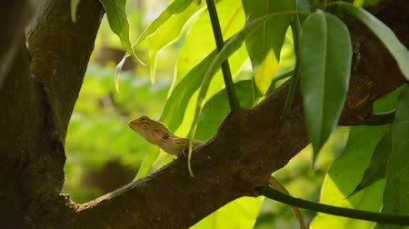 stealth : lizard climbing on mango tree in garden