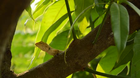 manga : lizard climbing on mango tree in garden