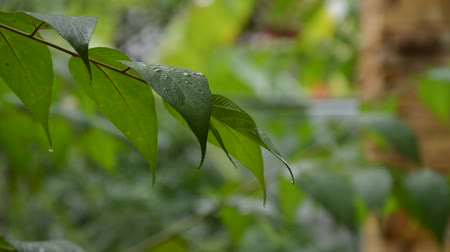 hera : rain drop and falling on leaf in rainy day