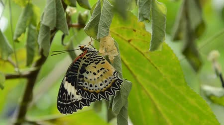 cocoon : butterfly metamorphosis from cocoon and prepare to flying on branch in garden